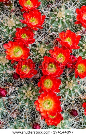 Rows of many bright red blossoms on top of large barrel cactus