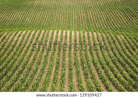 Rows of new corn - graphic image
