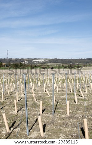 Rows of newley planted grape vines in Kent