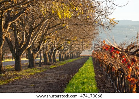 Rows of oak trees and vineyards in autumn in Napa Valley. Vibrant colors in morning light in wine country. Few yellow leaves on bare trees. Orange grapevine leaves at harvest in Napa, California.