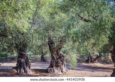 Rows of olive trees in Zakhyntos - stock photo