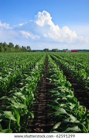 Rows of Organic Corn under a Cloudy Blue Sky - stock photo
