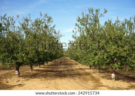 Rows of peach trees in orchard in Israel                                - stock photo