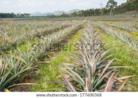 Rows of pineapple fruit (ananas comosus) growing in south of Thailand