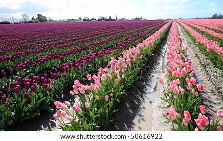 Rows of pink and purple tulips in commercial farming district