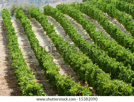 rows of plants of grapevine in Sicily