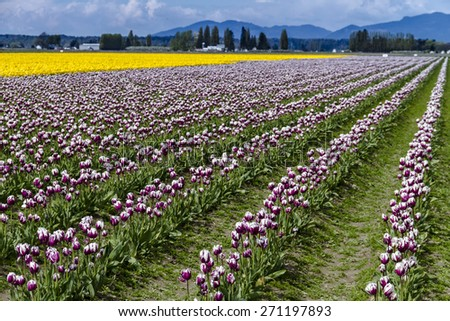 Rows of purple and white and yellow tulip flowers on tulip bulb farm