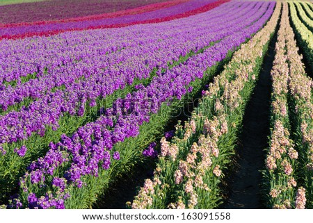 Rows of purple; red; pink and yellow snap dragons blooming in a field