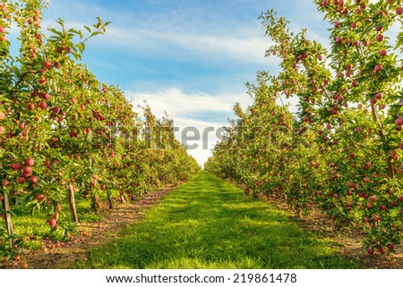 Rows of red apple trees  (Annapolis Valley, Nova Scotia, Canada)