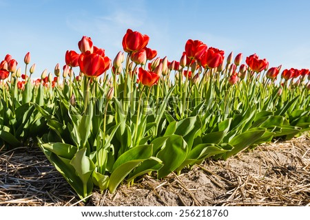 Rows of red blooming tulip plants in the soil of a Dutch nursery on a sunny day in springtime. - stock photo
