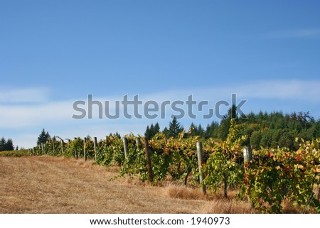Rows of ripe grapes ready for harvest - stock photo
