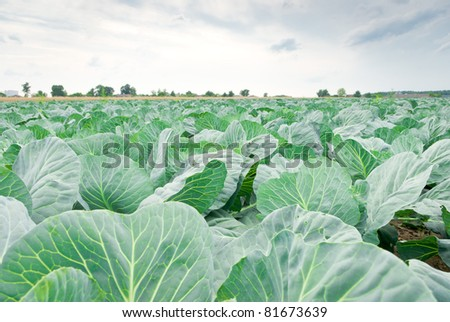 rows of salad, cabbage on an agriculture field - stock photo