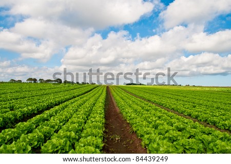 Rows of salad on a large agriculture field - stock photo