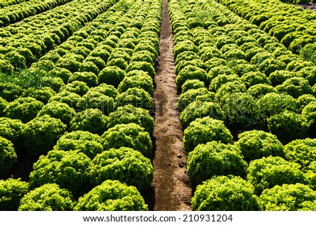 Rows of salad on a large agriculture field in late summer - stock photo