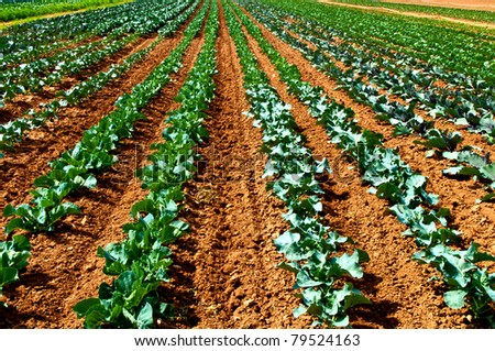Rows of salad on an agricultural field