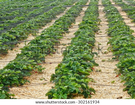 Rows of strawberries under nets - stock photo