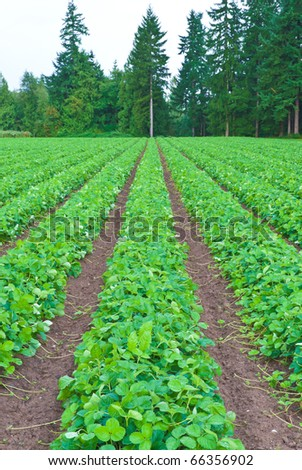 Rows of strawberry. - stock photo
