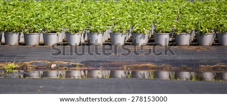 Rows of strawberry plants, still in pot, cultivated in spring at horticulturist, being prepared for further cultivation later in the season - stock photo