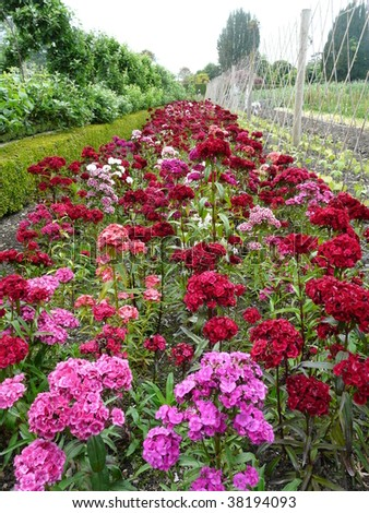 Rows of the biennial garden plant, Sweet William or Dianthus barbatus