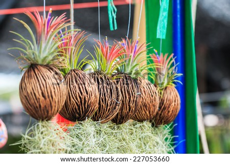 Rows of Tillandsia and spanish moss remix for decoration - stock photo