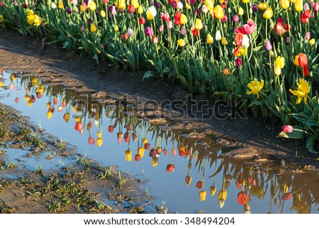 Rows of tulip flowers at a family farm with the flowers reflecting in standing water on the ground. - stock photo