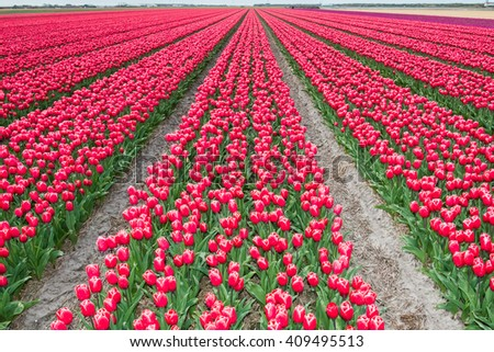 Rows of tulips in springtime a typical dutch scene full of color / Rows of rich red tulips