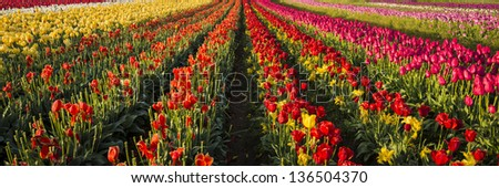 Rows of tulips on a far in Oregon's Willamette Valley - stock photo