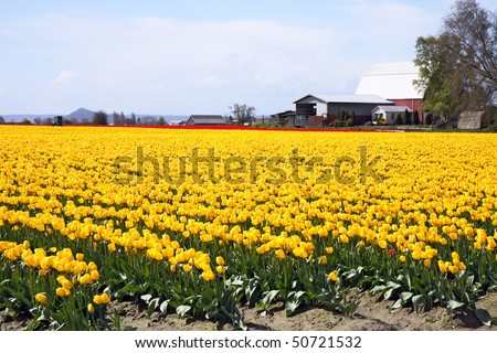 Rows of vibrant yellow tulip blooms in early spring