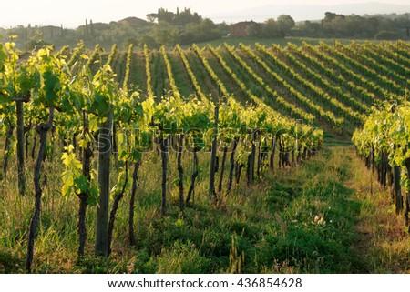 Rows of vines in Tuscany, Italy, sunrise shot - stock photo