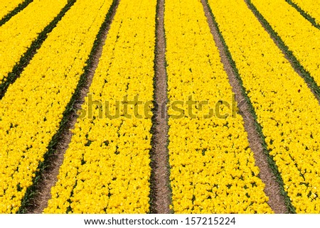 Rows of yellow tulips in a field near the 'keukenhof' in Lisse, The Netherlands - stock photo