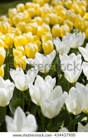 Rows of yellow tulips in Dutch countryside - stock photo
