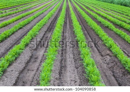 Rows of young and fresh carrot plants in springtime. - stock photo