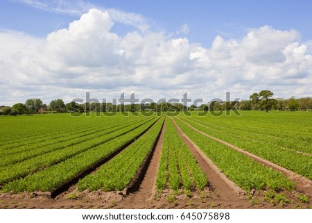 rows of young carrot plants with woodlands on the horizon under a blue cloudy sky in springtime in yorkshire