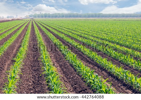 Rows of young corn planting on field