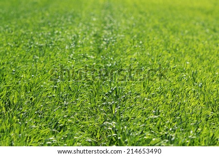 Rows of young corn plants - stock photo