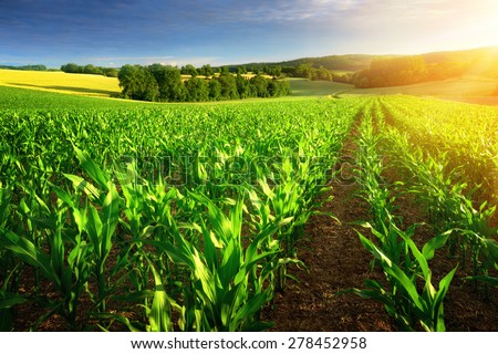 Rows of young corn plants on a fertile field with dark soil in beautiful warm sunshine, fresh vibrant colors - stock photo