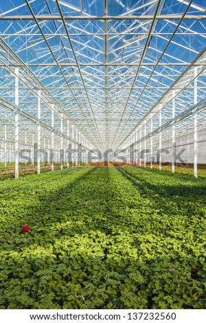 Rows of young geranium plants in a greenhouse - stock photo