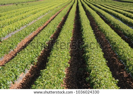 rows of young grape vines on the field
