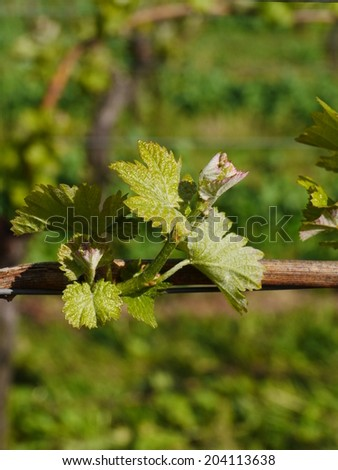 rows of young grapes in wineyards of southen Germany region - stock photo