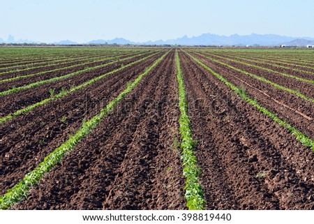 Rows of young melon plants in a field. - stock photo