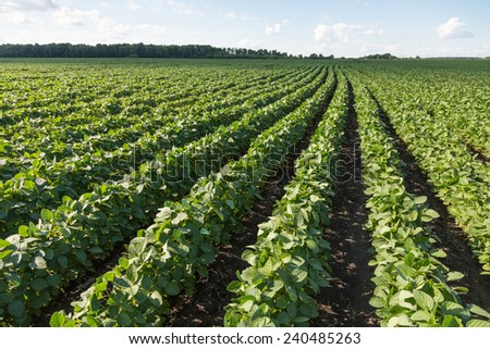 Rows of young soybean plants in a field