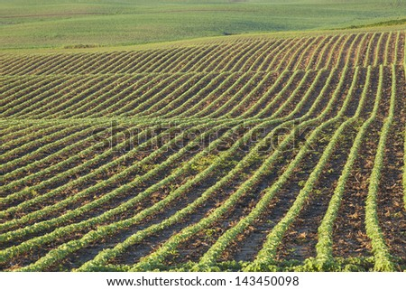 Rows of young soybean plants in a field shot in morning light - stock photo
