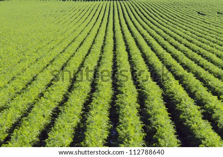 Rows on green plant on farm field.