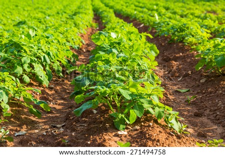Rows on Potato field with green bushes - stock photo