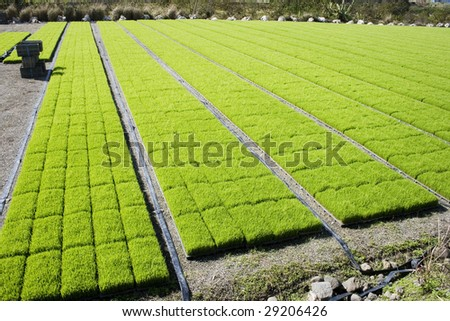 Rows on rows of rice seedling.  They are grown outside the paddy field first and then transplanted once they have grown a bit. - stock photo