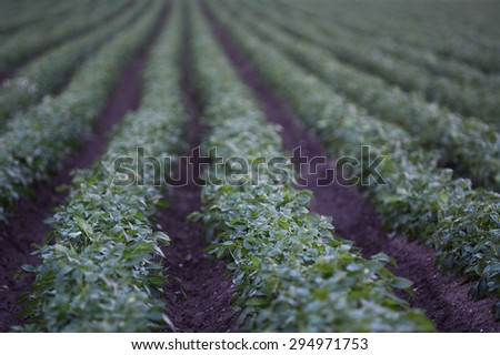 Rows with growing potatos