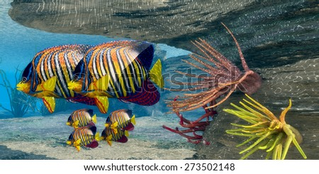 Royal Angelfish Family - Adult Royal Angelfish parents guard their young underneath an protective overhang in shallow ocean waters. - stock photo