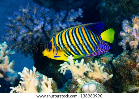 Royal angelfish (Pygoplites diacanthus) in the Red Sea, Egypt.
