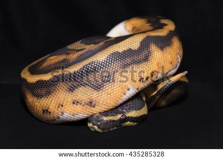 Royal Ball Pyhton, Piebald colour mutation. Isolated on black velvet. - stock photo