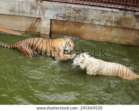 Royal bengal tiger - stock photo